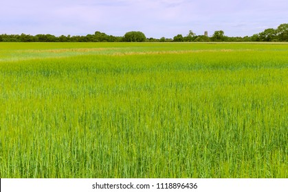 Beverley, Yorkshire, UK. View across agricultural field with the ancient minster on the horizon under blue sky and clouds in summer in Beverley, Yorkshire, UK.