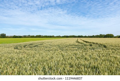 Beverley, Yorkshire, UK. View across wheat field under blue sky and clouds in summer in Beverley, Yorkshire, UK.