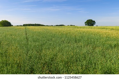 Beverley, Yorkshire, UK. View across field of oats with trees on the horizon under blue sky and whisps of clouds in summer in Beverley, Yorkshire, UK.