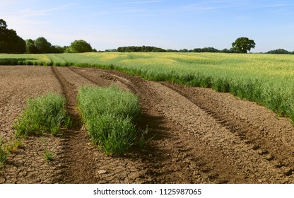 Beverley, Yorkshire, UK. View across field of oats with tractor tracks and trees on the horizon under blue sky in summer in Beverley, Yorkshire, UK.