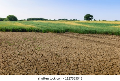Beverley, Yorkshire, UK. View across field of oats with tractor tracks and trees on the horizon under blue sky in dry period in summer in Beverley, Yorkshire, UK.