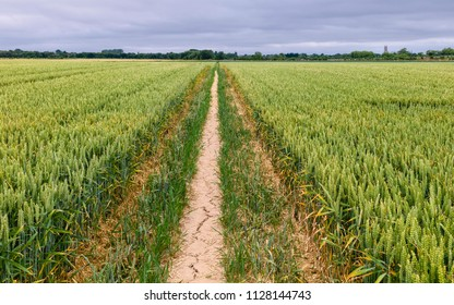 Beverley, Yorkshire, UK. View across field of wheat with tractor tracks and footpath with  trees on the horizon under blue sky in summer in Beverley, Yorkshire, UK.