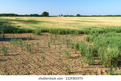 Beverley, Yorkshire, UK. View across field of oats with tractor tracks during dry spell under blue sky in dry period in summer in Beverley, Yorkshire, UK.