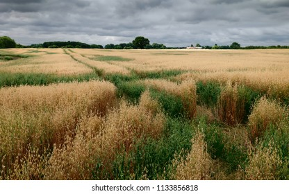 Beverley, Yorkshire, UK. View across field of oats with trees on the horizon under clouded sky during dry spell in summer in Beverley, Yorkshire, UK.