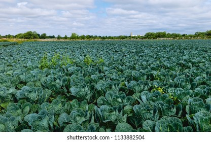 Beverley, Yorkshire, UK. View across field of brussel sprouts with minster on horizon on a fine summer morning, Beverley, Yorkshire, UK.