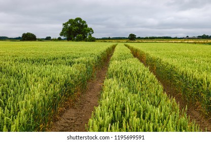 Beverley, Yorkshire, UK. View across field of wheat with tractor tracks and footpath with  trees on the horizon under overcast sky in summer in Beverley, Yorkshire, UK.