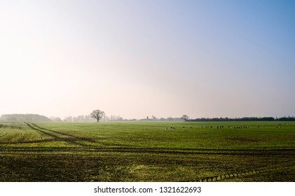 Beverley, Yorkshire, UK. View across agricultural landscape of oats and wheat with wild geese on fine misty spring morning under blue sky in Beverley, Yorkshire, UK.