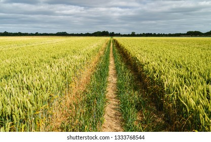 Beverley, Yorkshire, UK. Wheat field ready for harvesting separated by a dry footpath in summer in Beverley, Yorkshire, UK.