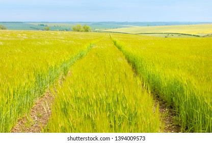 Beverley, Yorkshire, UK. Wheat field dancing in the breeze in spring in the heart of the Yorkshire Wolds flanked by fields of oilseed rape near Beverley, Yorkshire, UK.