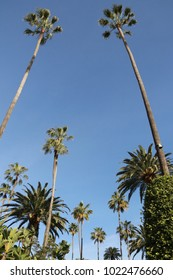 Beverly Hills palm trees in Los Angeles, USA.