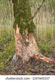Bevervraat Biesbosch; Beaver Guzzler Biesbosch