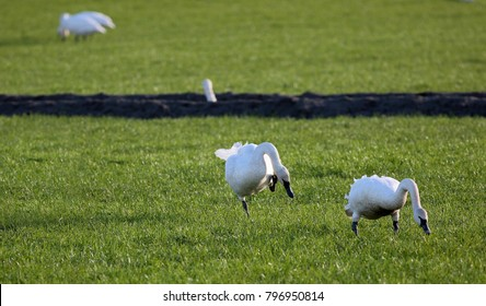 A bevy of trumpeter swans migrate to Skagit Valley, Washington for the winter and gather in green fields