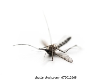 beware of mosquito, carrier of dengue fever, selective focus on white background, macro
