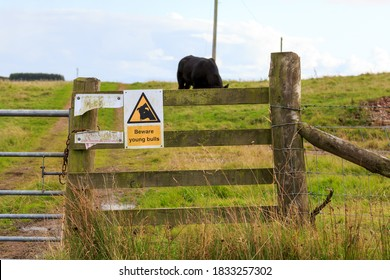 Beware young bulls sign fitted to a wood fence rail