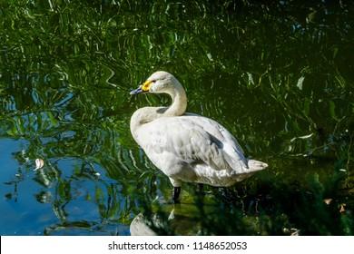 Bewick's Swan (Cygnus bewickii) in zoo, Moscow, Russia