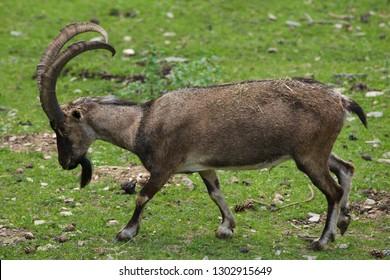 Bezoar ibex (Capra aegagrus aegagrus), also known as the Anatolian Bezoar ibex.