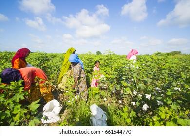 BHUJ, GUJARAT, INDIA, 05 NOVEMBER 2015 : Unidentified Farmer working at their cotton field, An Indian farming scene.