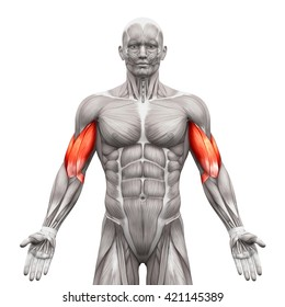 Biceps - Anatomy Muscles isolated on white - 3D illustration