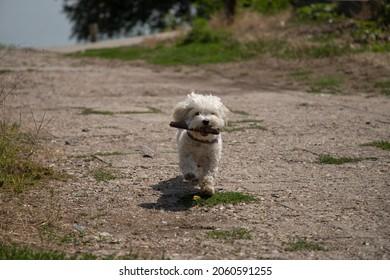 Bichon dog named Nanja running with a stick