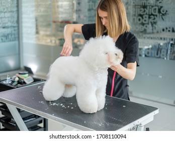 Bichon Fries in einem Hundezuchtsalon