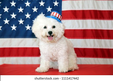 Bichon Frise Dog with American Flag. A purebred Bichon Frise female dog smiles as she poses with an American Flag for her 4th of July Photo Shoot.