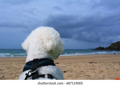 bichon frise dog looking at the view on the beautiful cornish beach in Praa Sands, UK
