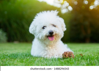 Bichon Frise dog lying on the grass with its tongue out.