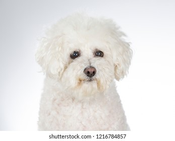 Bichon Frise dog portrait. Image taken in a studio with white background, isolated on white.