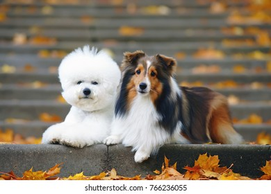 Bichon Frise dog and sable Sheltie dog lying together outside on the steps in autumn