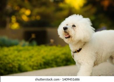 Bichon Frise dog walking outdoors