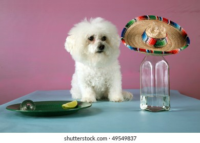 A Bichon Frise drinks Tequila with a wedge of lime and salt to celebrate Cinco de Mayo