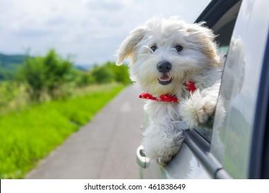 Bichon Frise Olhando para fora da janela do carro