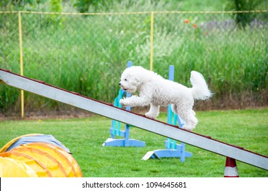 Bichon Frise on agility field for dogs, training and competing, jumping over obstacles, crossing over balance ramp, passing through the tunnel, running slalom ...