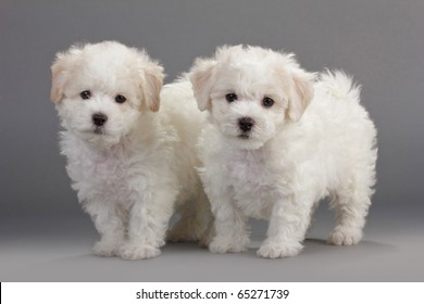 Bichon Frise Puppy Images, Stock Photos & Vectors | Shutterstock