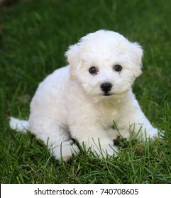 Bichon Frise Puppy. 9 week old bichon puppy. Bichon puppy in grass.