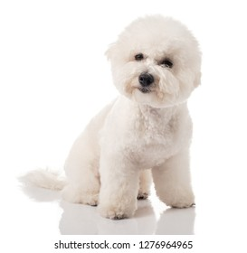 Bichon Frise puppy. Dog isolated on a white background. White dog. Bichon after grooming.