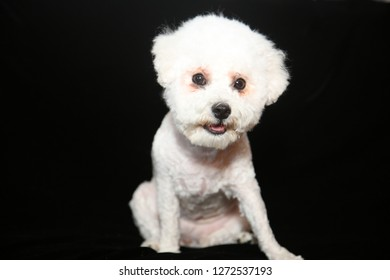 Bichon Frise. A purebred Bichon Frise Dog with fresh Hair Cut smiles for a treat while on a black velvet background.