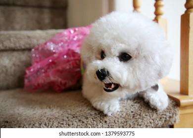 Bichon Frise. Purebred Bichon Frise Dog. Small White dog. 10 lb. female bichon frise dog. Pet Portraits. Bichon Frise Dog in a pink dress.