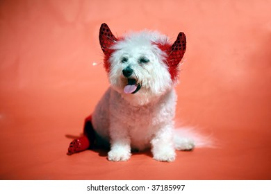 "a Bichon Frise smiles as she wears her ""Devil Dog"" halloween costume on an orange background"