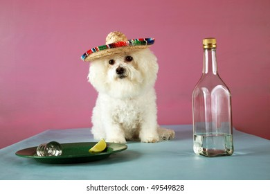 A Bichon Frise wears a Mexican Sombraro and drinks Tequila with a wedge of lime and salt to celebrate Cinco de Mayo