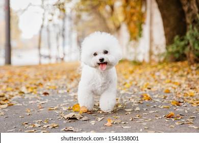 Bichon frize dog close up portrait. Autumn. Fall season