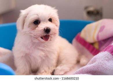 Bichon maltese puppy white