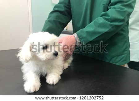 Bichon Shih Tzu Mix Puppy Vets Stock Photo Edit Now 1201202752