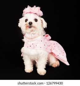 Bichon wearing dress and hat