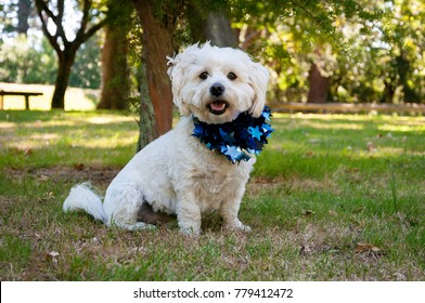 A Bichon-Shih Tzu, with Christmas tinsel around her taken. Taken in the New Zealand and showing how people try to infuse a winter holiday into their summer months.