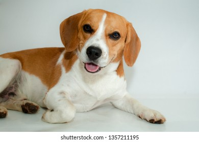 Bicolor beagle brown and white lying down with the crossed paw on a white background