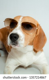 Bicolor beagle white and brown lying down wearing sunglasses on a white background
