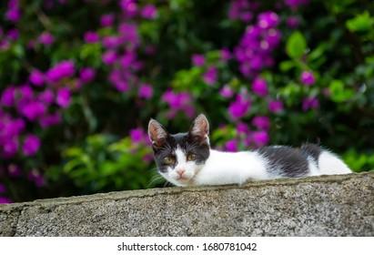 Bicolor little cat, black white, in a flowering garden.