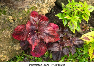 bicolor nettle planted, multicolred coleus in the garden, colorful bright shine leaves pattern, foliage top view