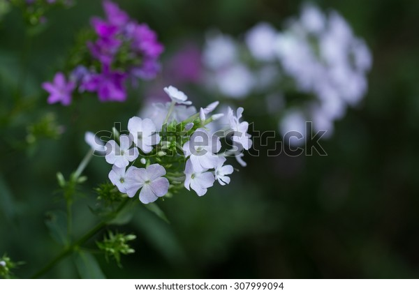 Bi-Color Phlox